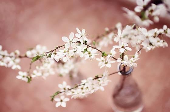 Delší větvičky kvetou spolehlivěji
