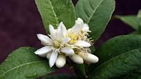 Cedráty mají květy velké asi 4 cm, silně vonící.