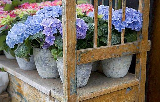 hortenzie - modrá varianta