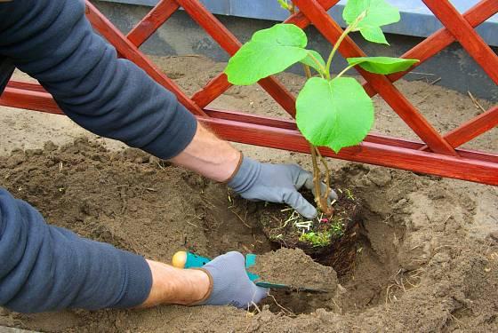 Výsadba mladých rostlin je ideální k opoře.