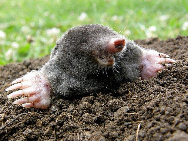 Díky lopatkovitým nohám je krtek přeborníkem v hrabání podzemních chodbiček