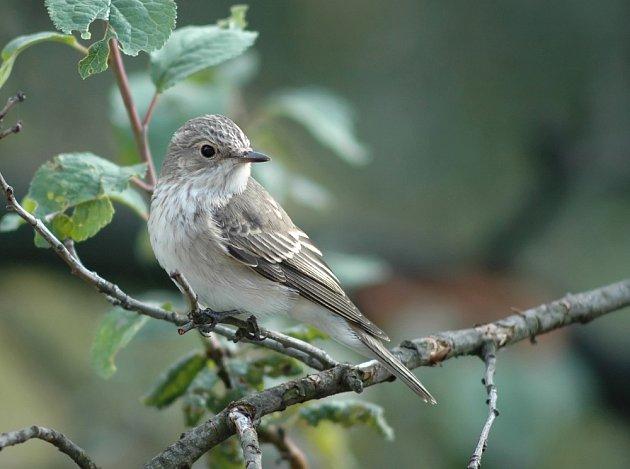 Buřňáček malý je na svou velikost dlouhověký pták, dožívá se v průměru 20 let.