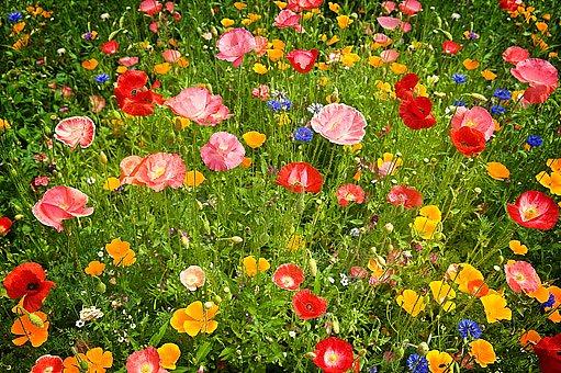 I mák setý je pohledná květina