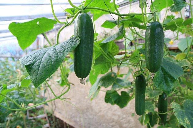 Okurky pilně plodí venku i ve skleníku