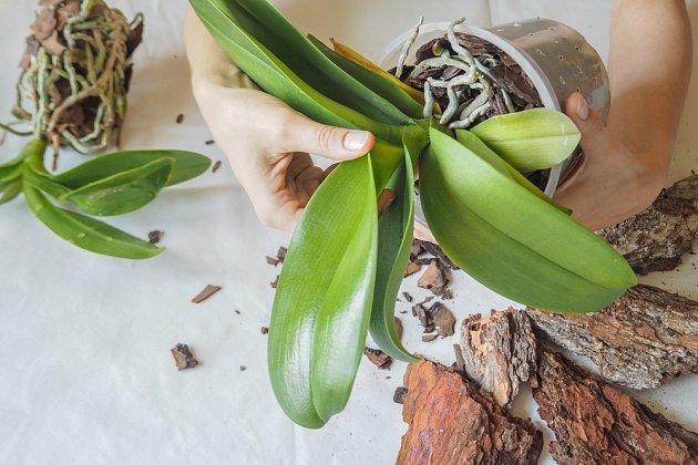 Orchidej vyjmeme opatrně z květináče.