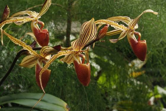 Paphiopedilum rotschildianum
