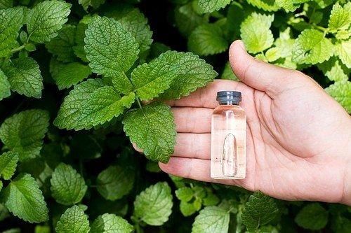 Z čistého mátového oleje lze zkombinováním s vodou vytvořit přírodní repelent ve formě spreje.