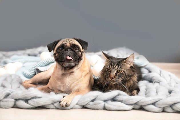 Mopsové a kočky v jedné domácnosti nejsou problém.