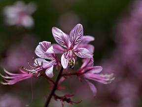 Třemdava - detail květu
