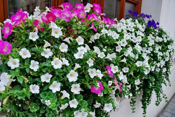 V průběhu sezóny je třeba doplňovat živiny hlavně těm rostlinám, u kterých při výsadbě nebyla použita zásobní hnojiva.