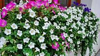 V tomto okenním truhlíku jsou kombinované růžově, fialově a bíle kvetoucí petúnie a bílou bakopou.
