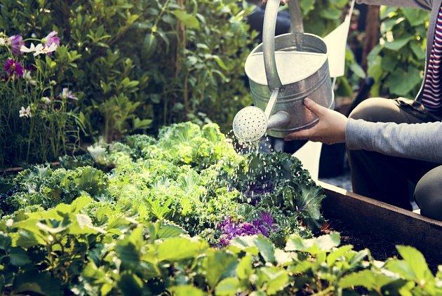 Pravidelná zálivka je pro šťavnatou zeleninu nezbytná