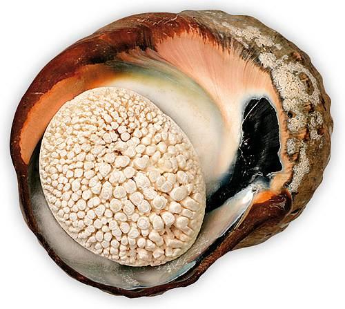 Ulita a operculum - víčko na vchodu do ulity