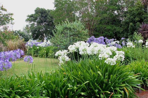 Agapanthus white ve společné výsadbě v záhonu.