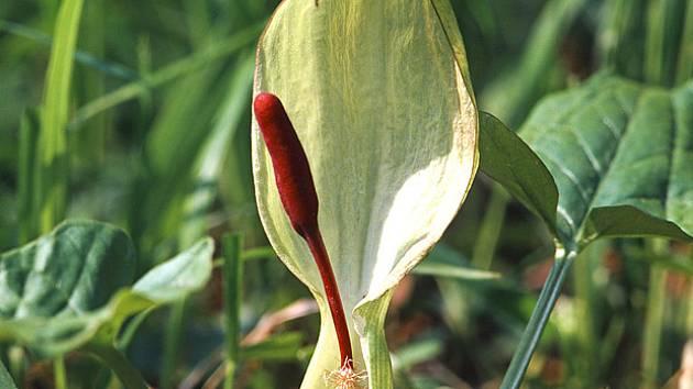 áron plamatý (Arum maculatum)