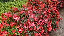 Begónie stálokvětá (Begonia semperflorens)