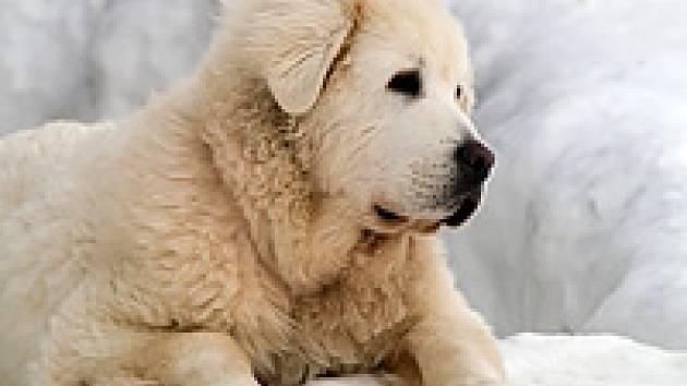 8b9b6726e80 Slovenský čuvač  pastevecký pes