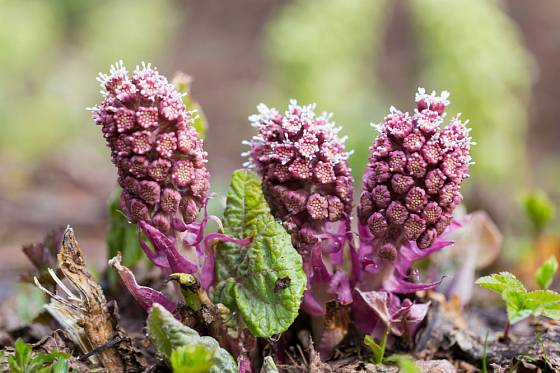 Palice květenství devětsilu lékařského se objevují časně zjara.