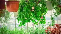 Ideálním místem pro přezimování přenosných rostlin bývá zasklená lodžie