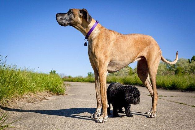 Německá doga se řadí mezi psí obry.