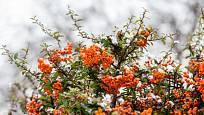 Plody hlohyně jsou červené, žluté nebo oranžové, podle kultivaru