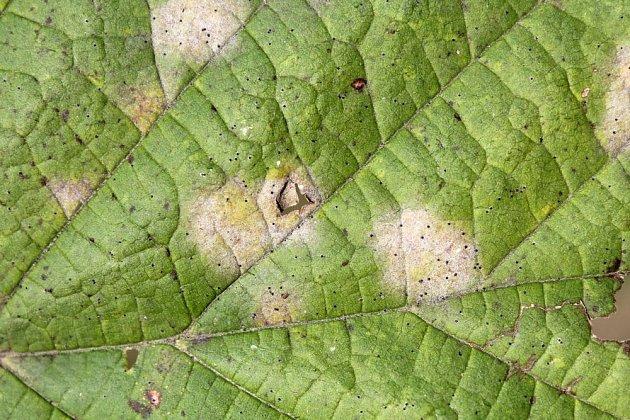 Skvrny padlí se na listech postupně šíří