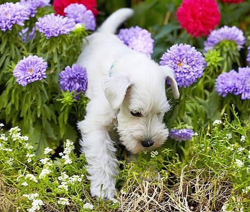 pes a květinový záhon