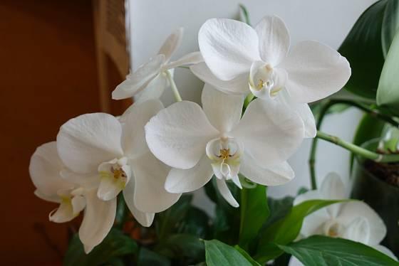 Můrovec (Phalaenopsis) je považován za nenáročnou orchidej.