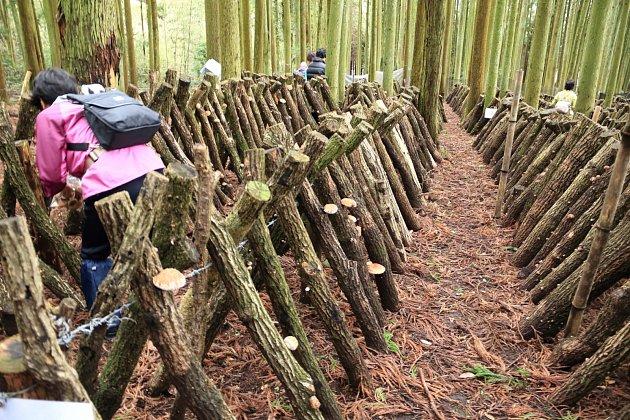 Pěstování shiitake na špalku ve velkém