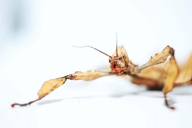 Strašilky vypadají nebezpečně, jsou ale neškodné