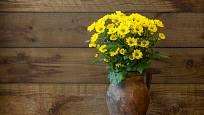 Žluté chryzantémy rozzáří interiér