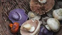 Houby mnoha barev: fialová patří čirůvce fialové.
