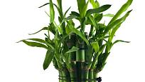 Dračinec pruhovaný známější pod názvem Lucky Bamboo patří mezi dracény (Dracaena sanderiana).