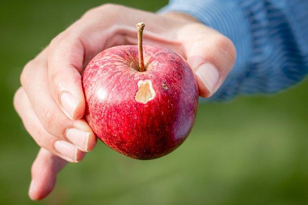 Dozrávající jablka poškozují naklováním i ptáci.