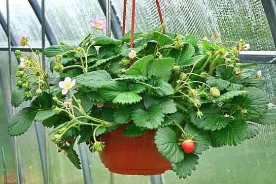 Závěsné květináče představují snadný sběr zralých plodů.