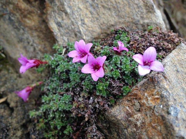 Lomikameny patří mezi nejoblíbenější skalničky. Lomikámen vstřícnolistý (Saxifraga oppositifolia)