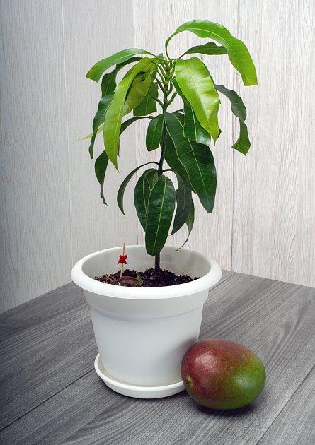 Mango je nejen úžasné ovoce, ale i krásná pokojovka
