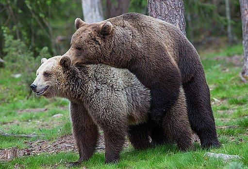 páření medvědů