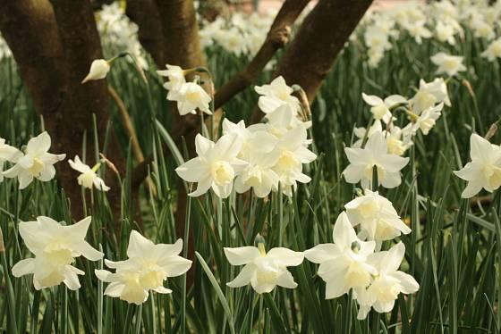 narcis trojmužný, Narcissus triandrus