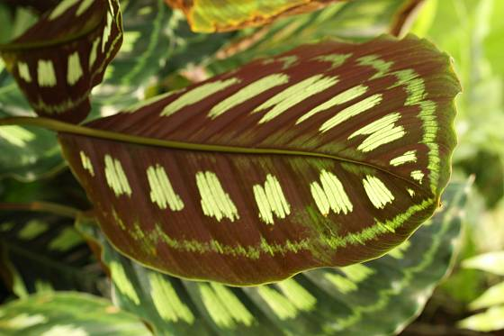 Rub listu druhu Calathea libbyana