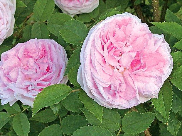 Růže s tajemnou historií a výraznou vůní
