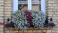 V tomto okenním truhlíku jsou kombinované růžově a bíle kvetoucí tařicovky přímořské.
