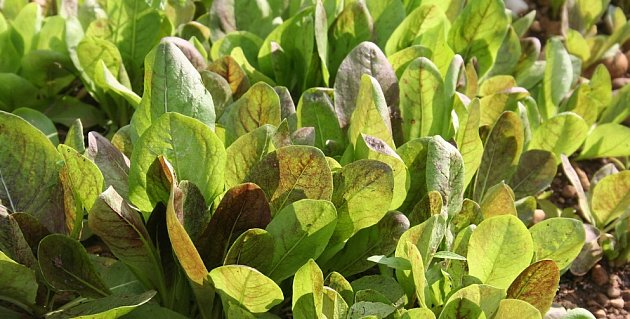 mladá výsadba salátové čekanky radicchio