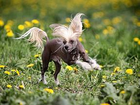 Čínský chocholatý pes je naprosto jedinečný.
