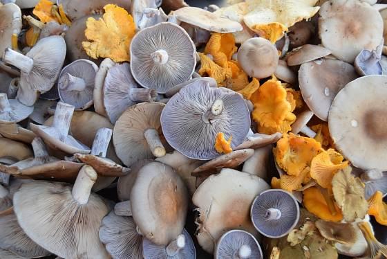 Čirůvky fialové a lišky - z podzimního houbařského úlovku.
