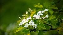 Hloh obecný (Crataegus laevigata) kvete bíle.
