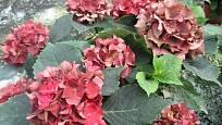 Hortenzie - květy vhodné k řezu pro sušení.
