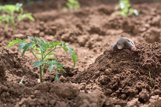 Krtiny vznikají nejen v trávníku, ale i v záhonech.