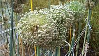 květ cibule