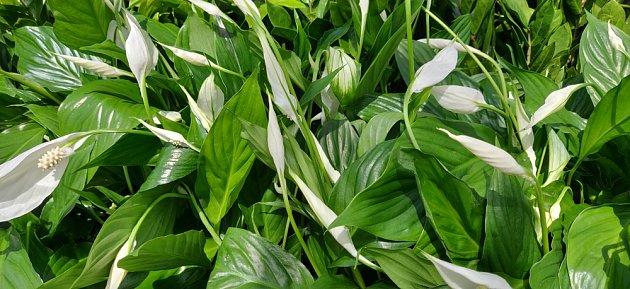 Lopatkovce jsou pokojovými rostlinami vhodnými pro pěstitele začátečníky i pěstitele lenochy.
